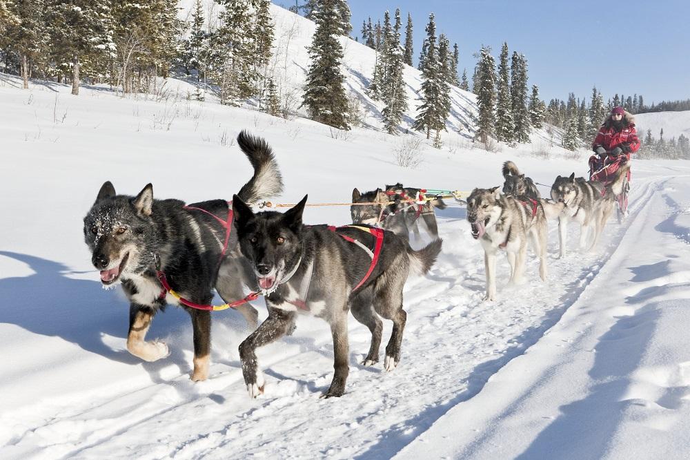 Dog sledding Credit Arctic Range Adventure Ltd