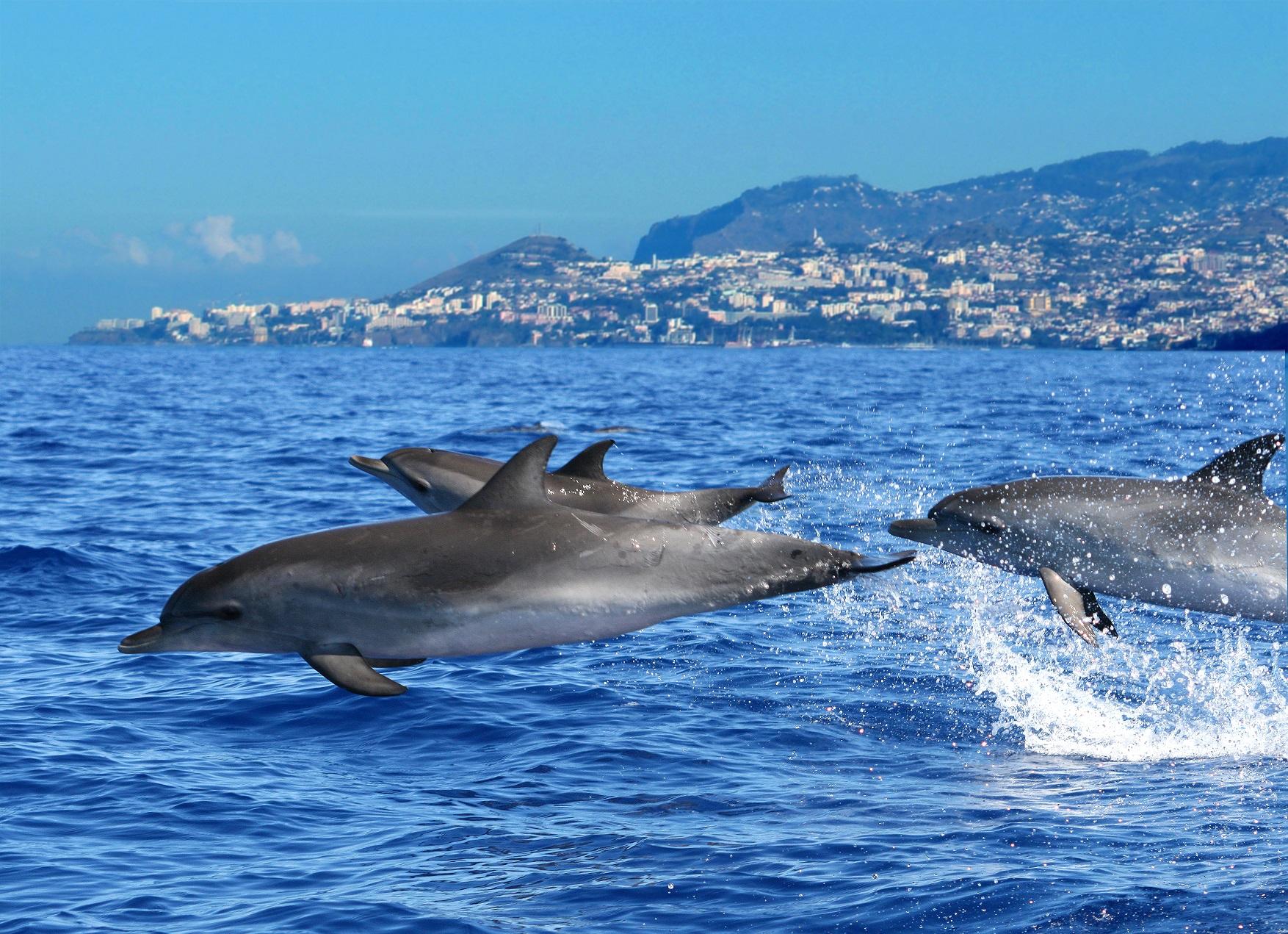 Dolphins Credit Madeira Promotion Bureau 1