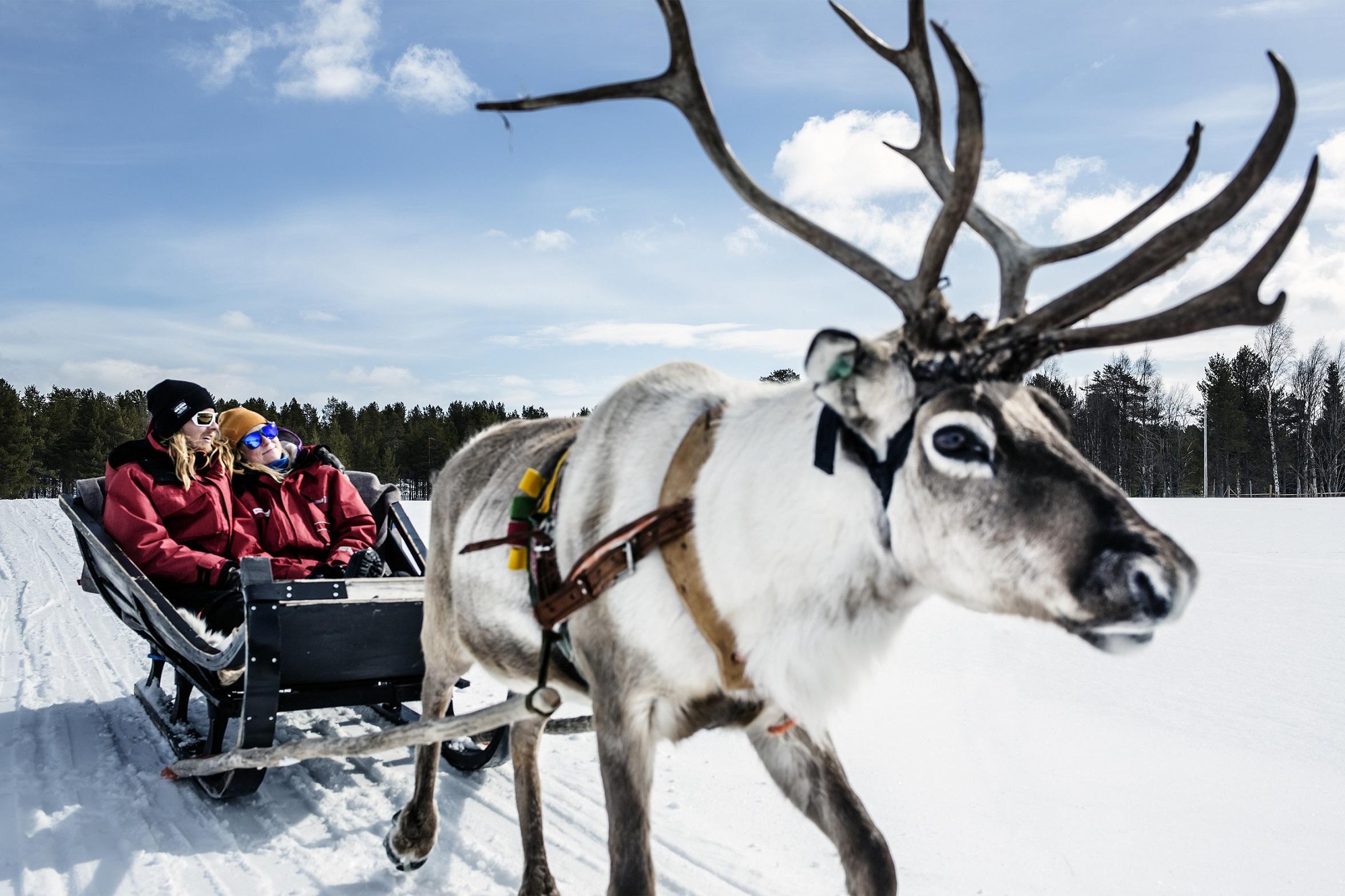 Harriniva Hotels Safaris Reindeer 10
