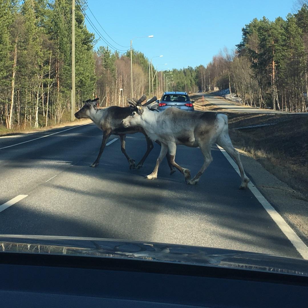 reindeer Nellim No Credit