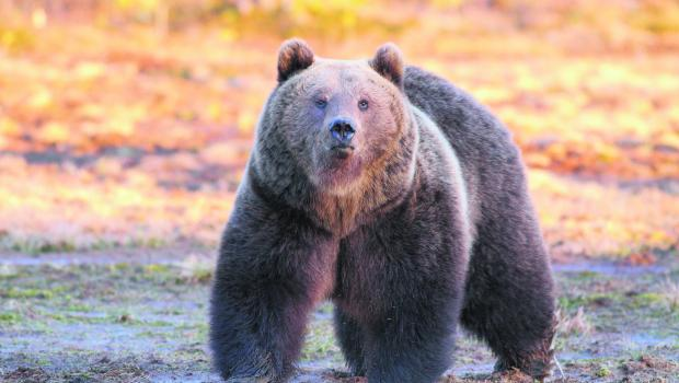 Kuhmo - Wild Brown Bear Adventure