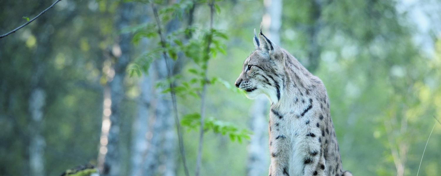 Kuhmo's Wonderful Wildlife