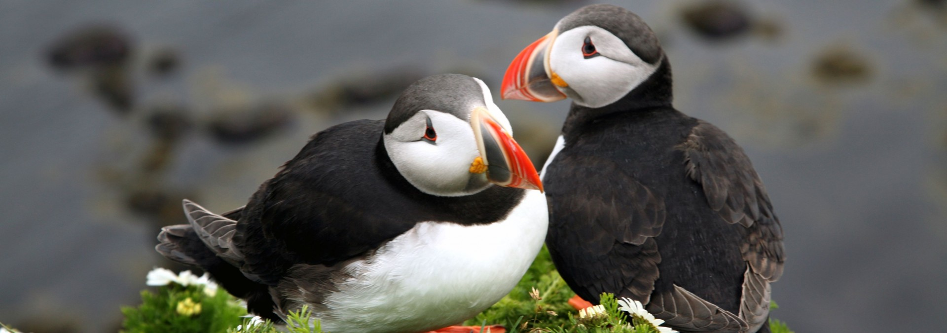 Puffins, South Shore, Iceland Credit Iceland Pro Travel