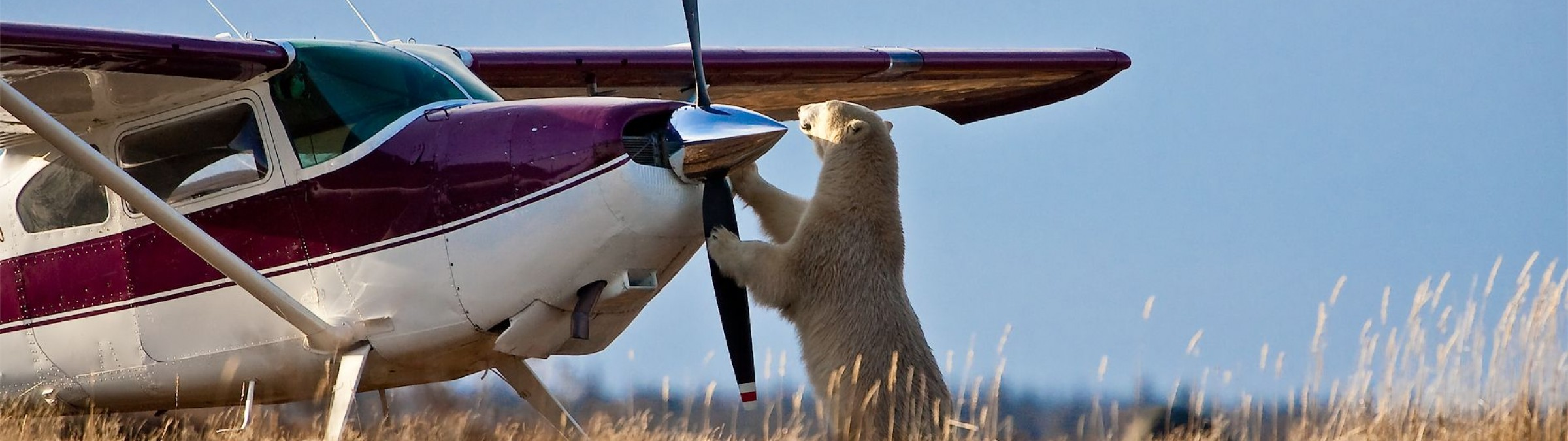 Polar Bear with small plane, credit Churchill Wild